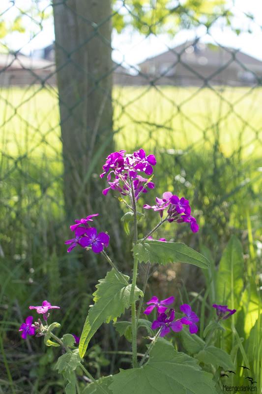 Auf dem Misthaufen blüht das lila Unkraut.