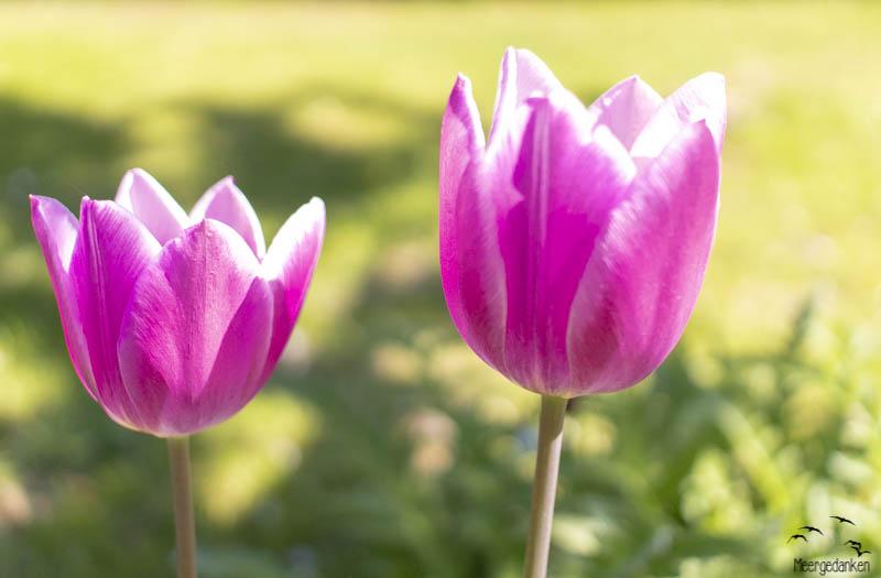 Tulpen sind sowieso hübsch, aber in lila strahlen sie richtig.